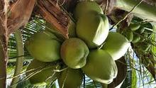 fresh coconut for importers in UAE