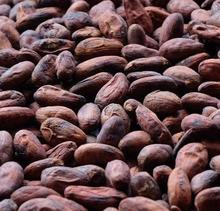Cheap quality Dried Raw Cocoa Beans