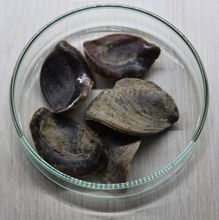 Murex Operculum For Sale / dried murex Operculun