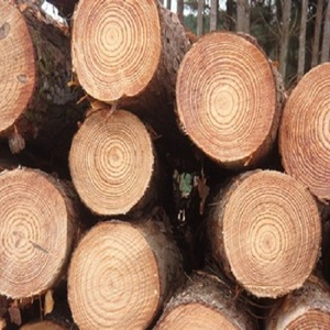 Grade AB Round White Pine Logs for sale