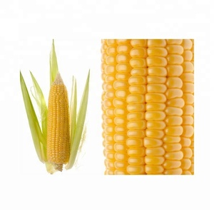 Indian Suppliers Yellow Maize / Corn with OEM Service