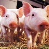 Healthy live pigs for sale