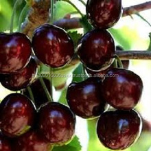 Fresh Cherry from Turkey
