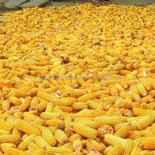 Top High Quality White and Yellow Corn/Maize