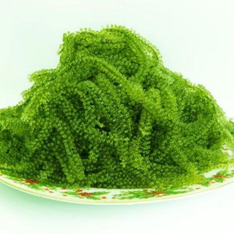 HOW MUCH SEAWEED SEA GRAPES FROM VIETNAM (what's app +84 963 842 504)