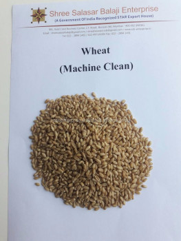 BEST QUALITY OF INDIAN WHEAT AVAILABLE FOR EXPORT
