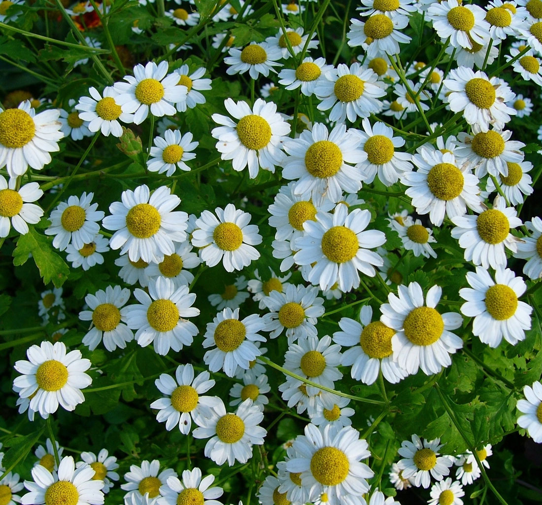 Extract chamomile, herbal extract