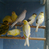 Live Canary Birds| Yorkshire | Goldfinches | Zebra Finches Lancashire | Frill Canary