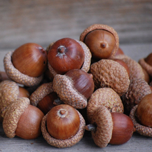 High Quality Oak Acorns For Sale