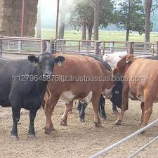 COWS FOR SLAUGHTER, SIMMENTAL COWS, ANGUS COWS, LIMOUSIN COWS, MURRAY GREY COWS