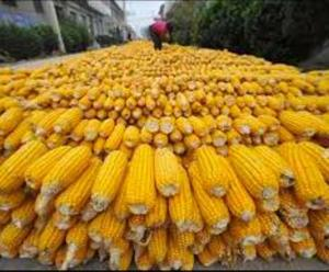 Quality dried Yellow Corn Human Consumption at good prices
