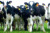 ALive Boer Goats,Live Friesian Holstein