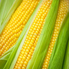 Yellow corn for Human Consumption or Animal Feed