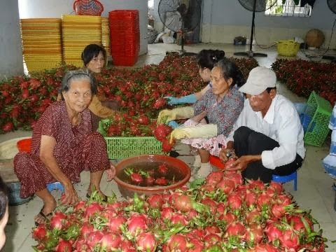 Red Flesh Pitahaya Fruits from Vietnam for sale