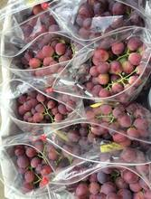 Best Quality Fresh Red /Green Grape For Sale