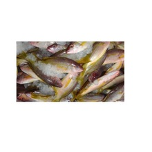 Best Quality IQF Frozen Yellow Snapper Fish suppliers