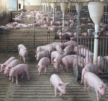 South Africa Top Sale Live pigs and piglets ,Swine for meat /Weaned Piglets /Large White Piglet