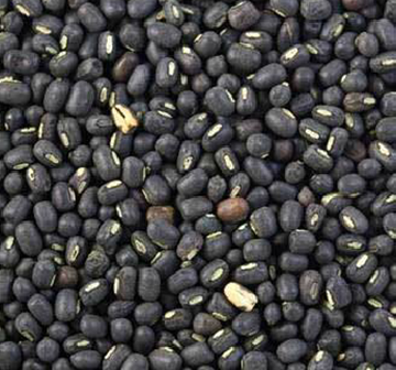 Black Matpe ,Black Mapte Urdad ,Black Matpe Bean for sale
