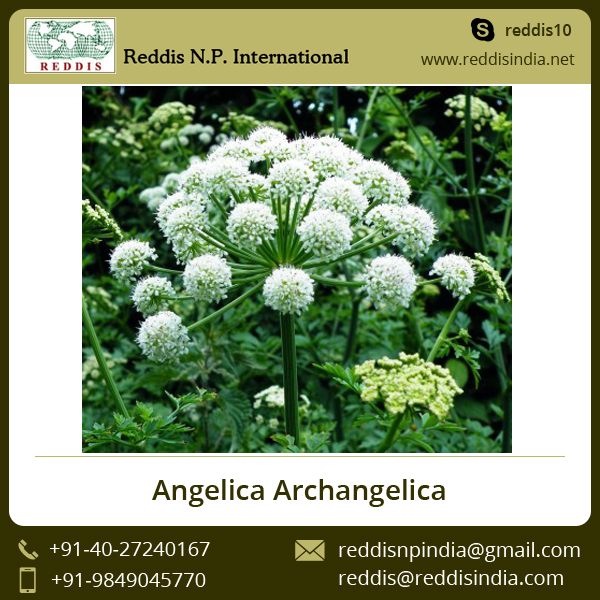 Best Price 100% Natural Angelica Root