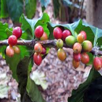 HIGH GRADE ORGANIC COFFEE BEANS ROBUSTA CHERRY / AB/ PB GRADE UNROSTAED