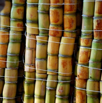 Fresh Sugar Cane stick for sale
