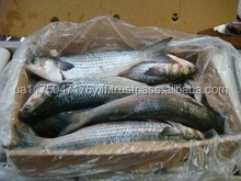 grey mullet fish new frozen whole round