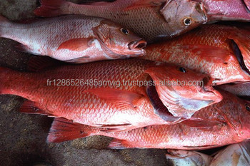 Frozen Red Snapper Fish IQF