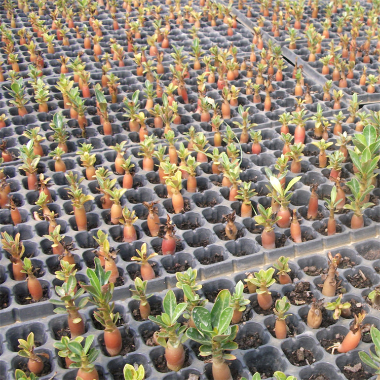 High Germination rate Desert Rose Seeds/Adenium obesum seeds for Planting for sale