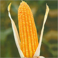 Moon Star Maize Seeds