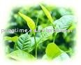 Green tea polyphenol 98% 95%