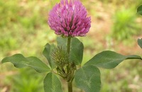 Top quality Red Clover Extract Daidzein, free sample for initial trial