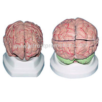 Medical Brain Anatomical Model, Plastic Human Brain Models