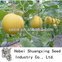 Golden Sun yellow skin white meat melon seeds