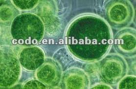 Chlorella 2.jpg
