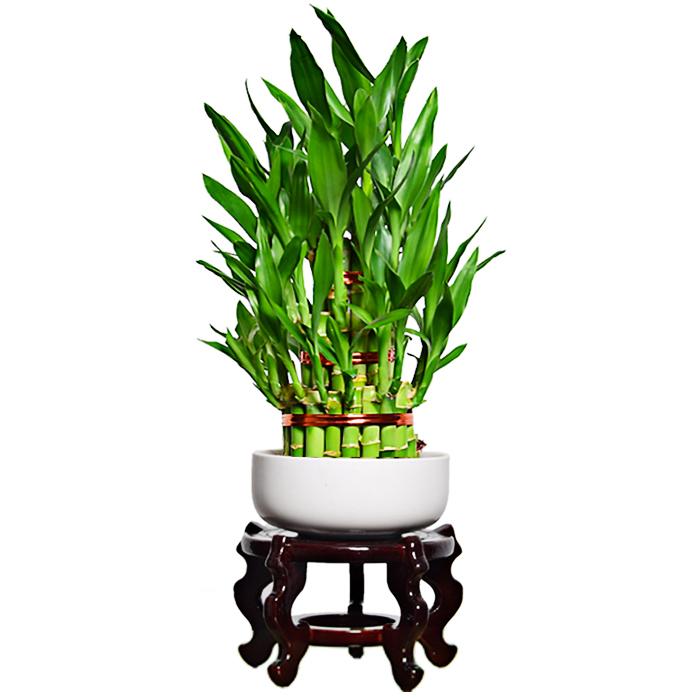 Indoor feng shui bamboo plant lucky bamboo 2 layer small 2 tier tower lucky bamboo bonsai nursery garden plants/Dracaena