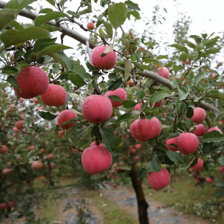 Fuji <strong>Apples</strong> To Protein <strong>Apples</strong> Wholesale Fruit Prices