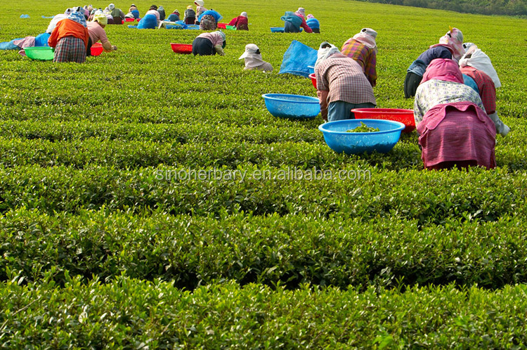 Planting Base Supply Dried Flower Tea Lilium Brownii Tea For Drink - 4uTea | 4uTea.com