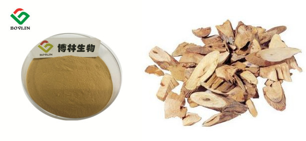 Medical Grade Ashitaba Extract Angelica Powder
