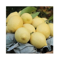 wholesale citrus fruit fresh Lemon