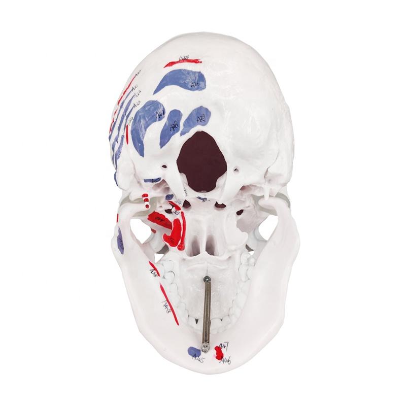 Colored Human Medical Plastic Teaching Skull Anatomical Bone Model