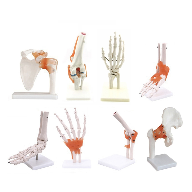 Human Anatomical Joint <strong>Model</strong> with Ligaments for Knee, Hand, Foot, Hip, Shoulder, Elbow