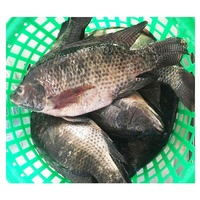 Best Farm Feed Whole Frozen Tilapia Fish Whole Round For sale