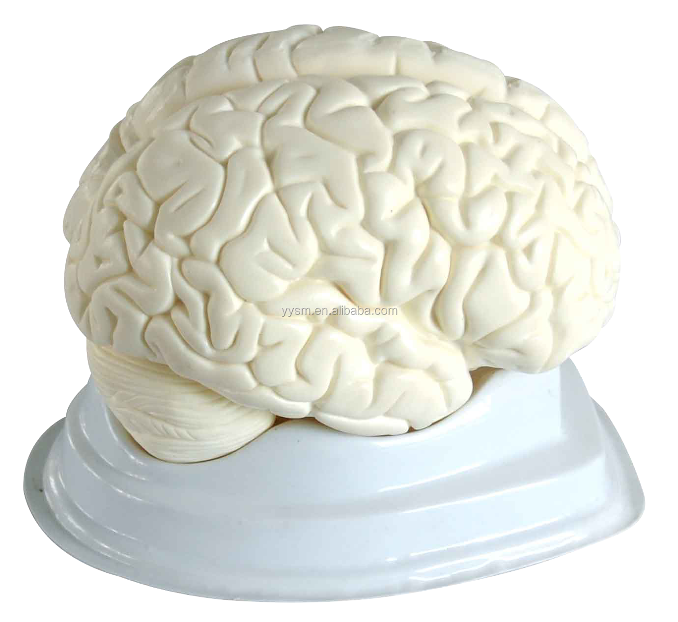 Human anatomy brain model-anatomic model human brain enlarge model 3 parts