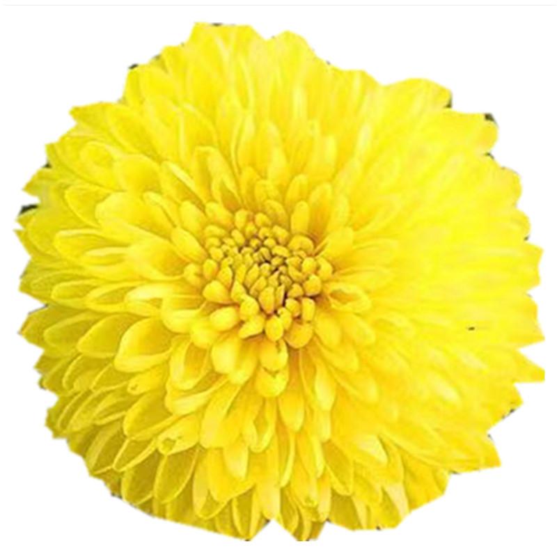 Wholesale Organic Green Blooming Flower Yellow Chrysanthemum Tea - 4uTea | 4uTea.com