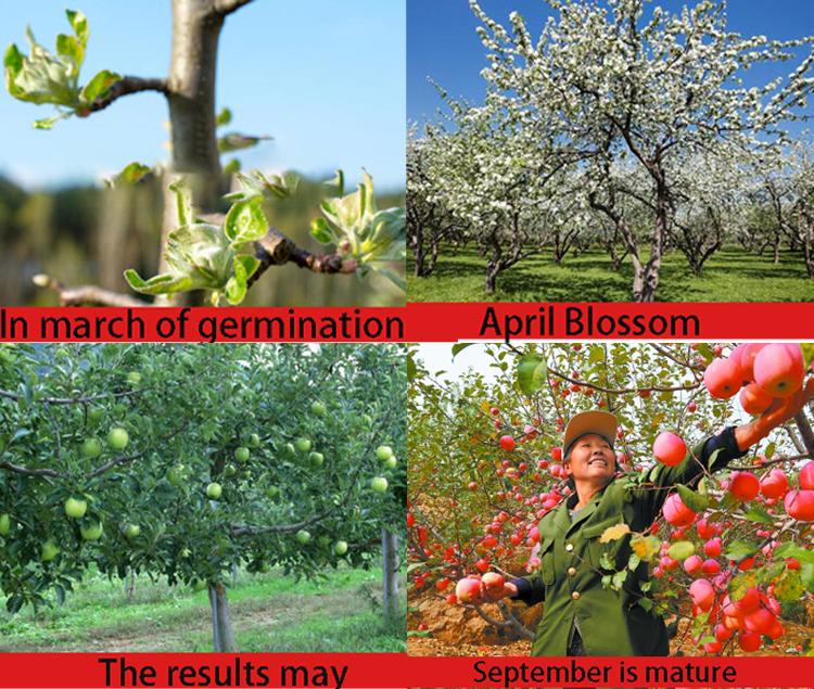 fruit company china fresh fruit apples