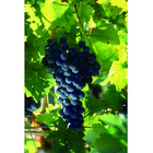 fresh grapes 500g sweet fresh red red grape for China chinese fresh grape
