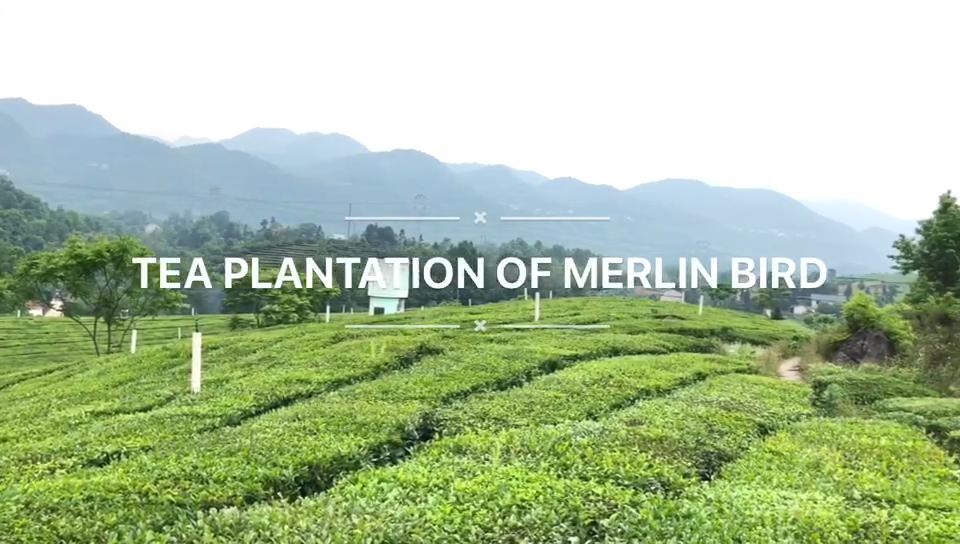 100% bio de marque privée Japonaise matcha extrait de thé vert en poudre