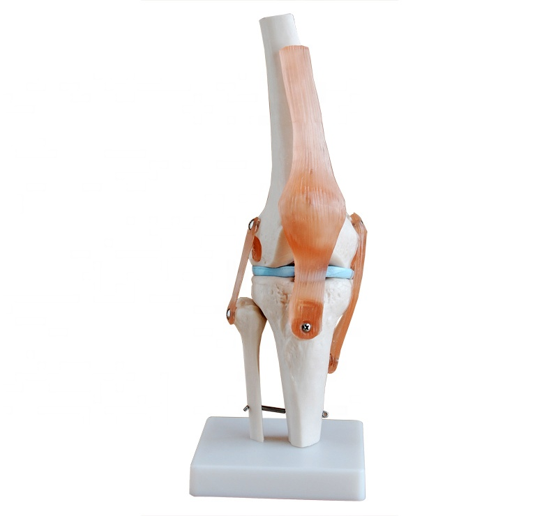ISO Life-Size Knee Joint <strong>Model</strong>