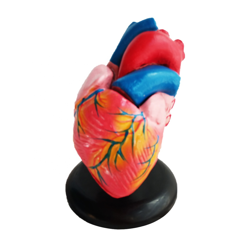 Factory price Medical teaching Life size Heart anatomy <strong>model</strong>