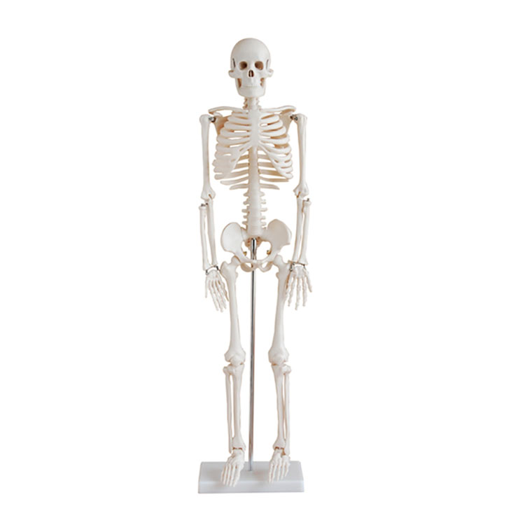 Factory Price MKR-102 85CM Cheap Plastic Human Skeleton Made In China for Sale